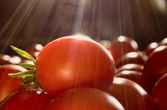 Verse rode tomaten Stock Afbeeldingen