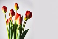 Verse rode tulpen voor de vakantie royalty-vrije stock afbeelding