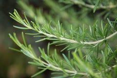 Verse Rosemary Herb royalty-vrije stock afbeelding
