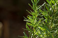 Verse Rosemary Herb groeit openlucht Rosemary verlaat Close-up stock fotografie