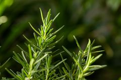 Verse Rosemary Herb groeit openlucht Rosemary verlaat Close-up royalty-vrije stock foto