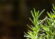 Verse Rosemary Herb groeit openlucht Rosemary verlaat Close-up stock afbeelding
