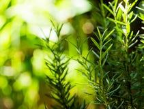 Verse Rosemary Herb groeit openlucht Rosemary verlaat Close-up stock foto