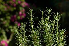 Verse Rosemary Herb groeit openlucht Rosemary verlaat Close-up royalty-vrije stock afbeelding