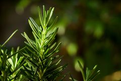 Verse Rosemary Herb groeit openlucht Rosemary verlaat Close-up royalty-vrije stock foto's