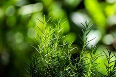 Verse Rosemary Herb groeit openlucht Rosemary verlaat Close-up stock afbeeldingen