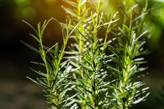 Verse Rosemary Herb groeit openlucht Rosemary verlaat Close-up stock foto's
