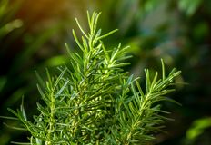 Verse Rosemary Herb groeit openlucht Rosemary verlaat Close-up stock fotografie