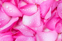 verse roze nam bloemblaadjeachtergrond met de daling van de waterregen toe Royalty-vrije Stock Afbeeldingen