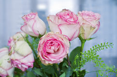 Verse roze rozen Stock Afbeelding