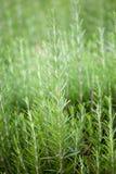 Verse rozemarijn (Rosmarinus Officinalis) Stock Foto's