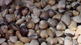 Verse Ruwe lyrata van Emailvenus shells meretrix voor Verkoop bij Zeevruchtenmarkt stock videobeelden