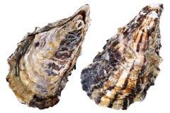 Verse ruwe oester Royalty-vrije Stock Afbeelding