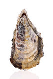 Verse ruwe oester Royalty-vrije Stock Foto's