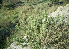 Verse ruwe salie in berg Het wilde Wijze kruid groeit op het gebied Griekse kruiden royalty-vrije stock fotografie