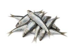 Verse ruwe sardines Royalty-vrije Stock Afbeeldingen