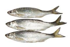 Verse ruwe sardines Stock Afbeeldingen