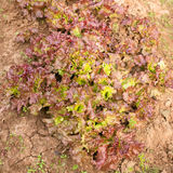 Verse salade in de tuin Royalty-vrije Stock Foto