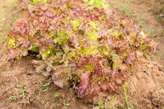 Verse salade in de tuin Stock Afbeelding