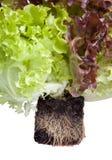Verse salade met wortels in grond Stock Afbeelding