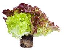 Verse salade met wortels in grond Stock Foto