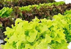 Verse saladegroente Royalty-vrije Stock Afbeeldingen