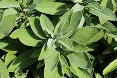 Verse salie op de tuin (Salvia-officinalis) Stock Foto