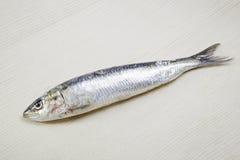 Verse sardine Royalty-vrije Stock Fotografie