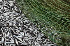 Verse sardines Stock Fotografie