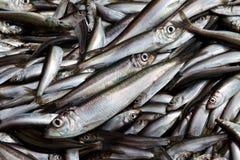 Verse sardines Stock Foto's
