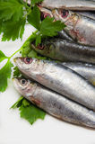 Verse sardines Royalty-vrije Stock Afbeelding