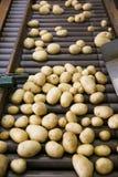 Verse, schoongemaakte en gesorteerde aardappels op een transportband stock afbeelding