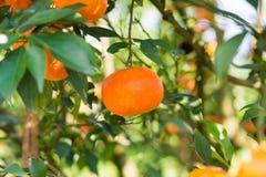 Verse sinaasappel op de boom Stock Foto