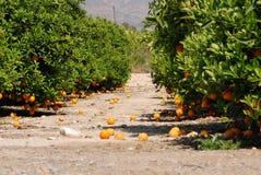 Verse sinaasappelen die op oranje boom hangen Stock Afbeeldingen
