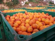 Verse sinaasappelen in krat Royalty-vrije Stock Afbeeldingen