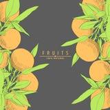 Verse sinaasappelenillustratie Royalty-vrije Stock Afbeeldingen
