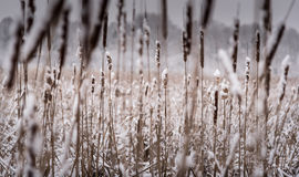 Verse Sneeuw op Cattails Royalty-vrije Stock Foto's