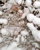 Verse sneeuw op droge hydrangea hortensiastruik Stock Foto