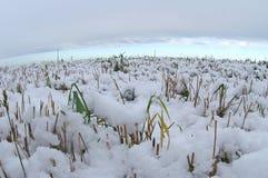 Verse sneeuw over een maïsgebied Royalty-vrije Stock Afbeelding