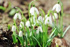 De bloemen van het sneeuwklokje Royalty-vrije Stock Fotografie