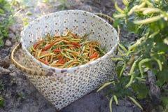 Verse Spaanse pepers in Thailand stock afbeelding