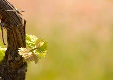 Verse spruiten van wijnstok Stock Fotografie