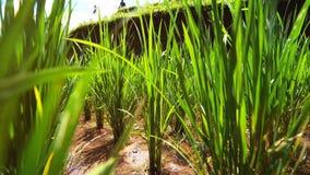 Verse spruitenzaden bij rijstinstallatie het groeien op weelderig groen padieveldgebied stock video