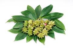 Verse steranijsplant Royalty-vrije Stock Fotografie