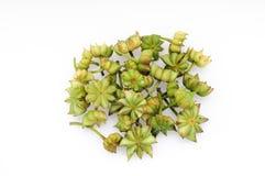 Verse steranijsplant Stock Fotografie