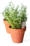 Verse thyme. stock afbeelding