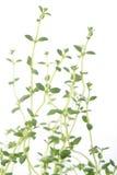 Verse thyme Royalty-vrije Stock Afbeeldingen