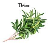Verse thyme royalty-vrije stock afbeelding