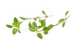 Verse thyme op witte achtergrond Stock Foto's