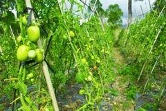 Verse tomaat stock foto's